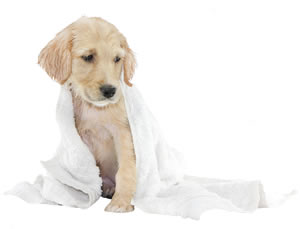 Puppy in towel after a bath