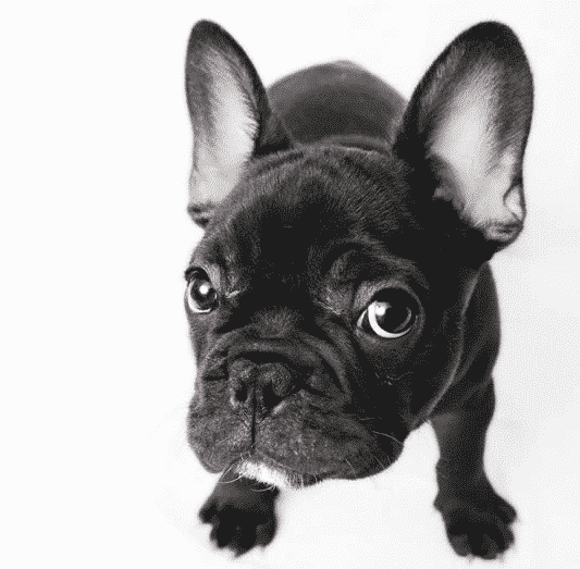 french bulldog white background