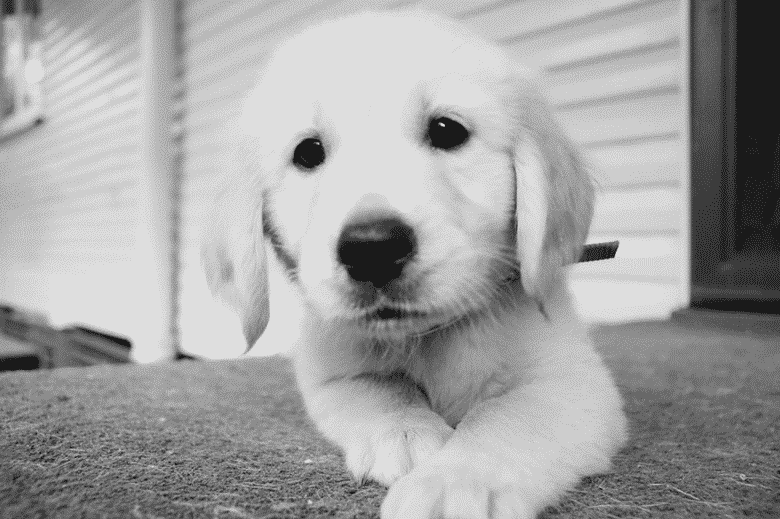 black and white golden retriever puppy