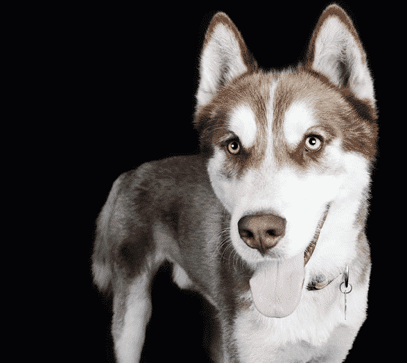 husky with black background