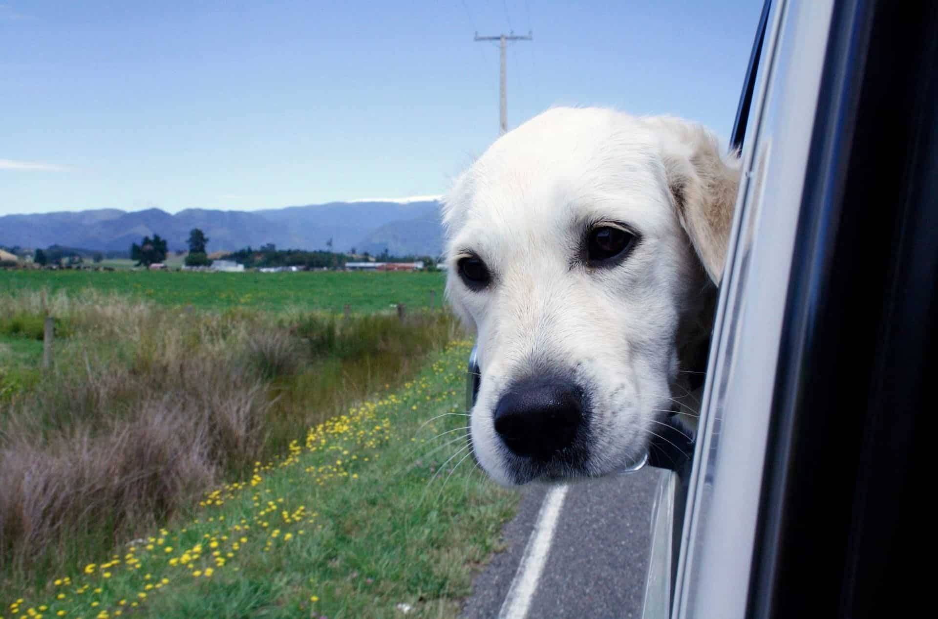 dog with head out the window