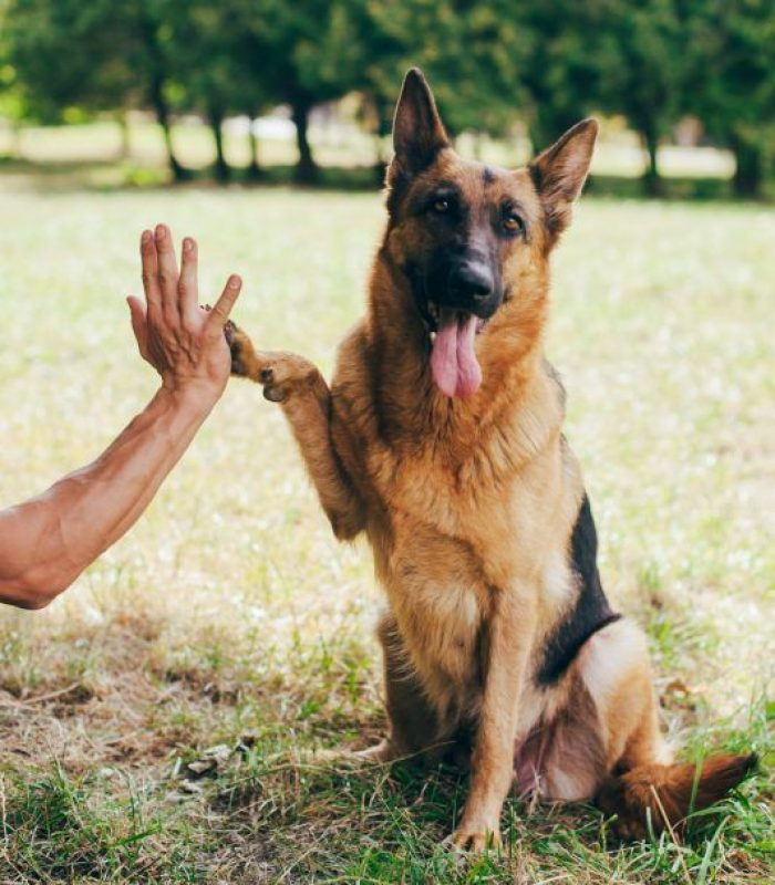 German shepherd dog giving a paw